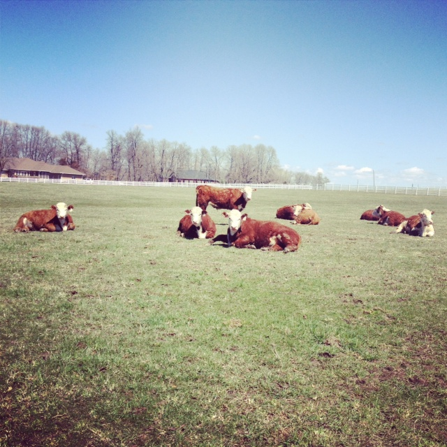 Hereford Beef for Sale